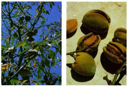 Image: Almond tree