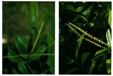 Image: Bignay shrub or small tree