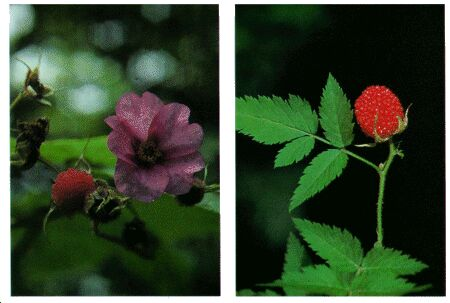 Image: Blackberry, rasberry, and dewberry