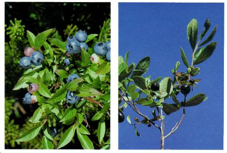 Image: Blueberry and huckleberry