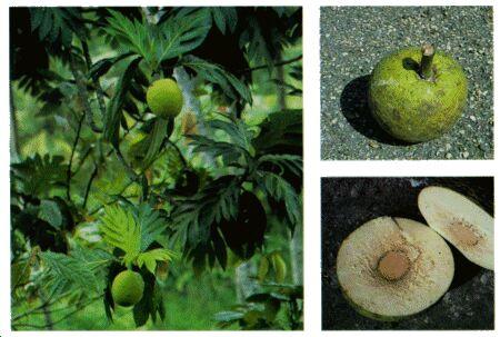 Image: Breadfruit tree