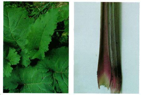 Image: Burdock plant