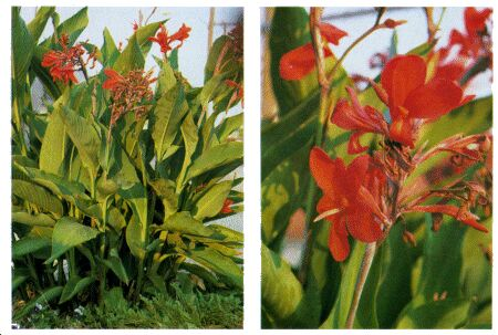 Image: Canna lily