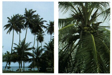 Image: Coconut tree