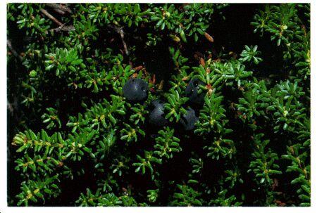 Image: Crowberry shrub