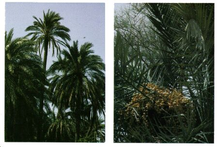 Image: Date palm