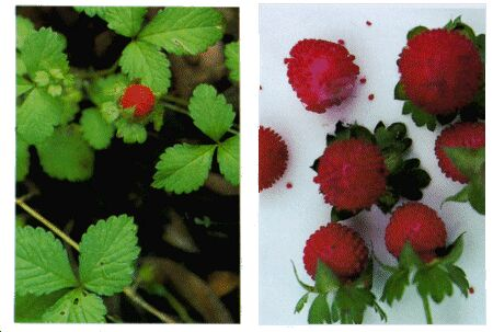 Image: Duchesnea or Indian strawberry