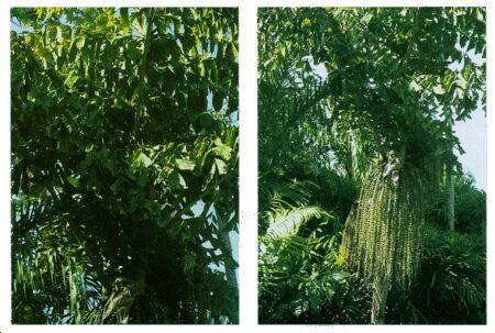 Image: Fishtail palm