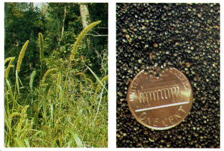 Image: Foxtail grass