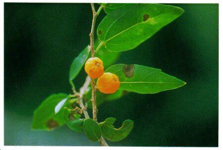 Image: Hackberry tree
