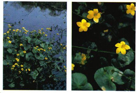 Image: Marsh marigold plant