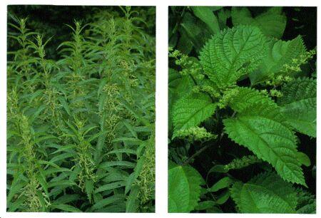 Image: Nettle plant