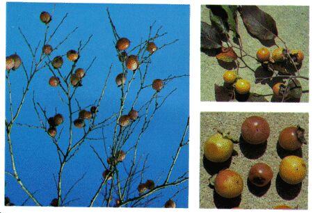 Image: Persimmon tree