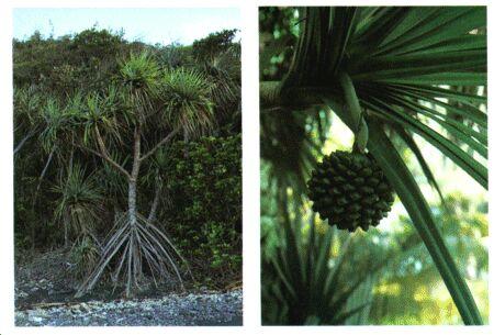 Image: Screw pine
