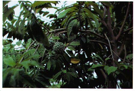 Image: Sweetsop tree