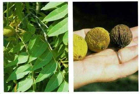 Image: Walnut tree