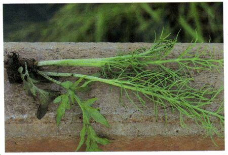 Image: Water lettuce