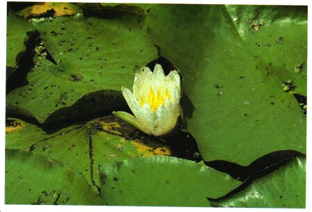 Image: Water lily