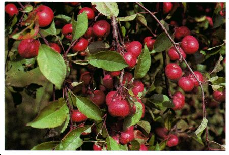 Image: Wild crab apple or wild apple