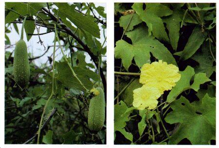 Image: Wild gourd or luffa sponge