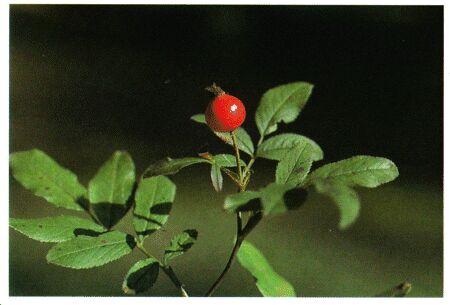 Image: Wild rose