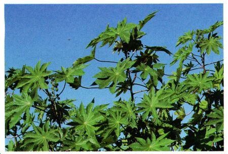 Image: Castor bean, castor-oil plant, palma Christi