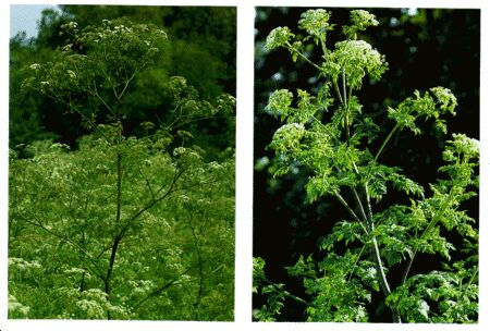 Image: Poison hemlock, fool's parsley