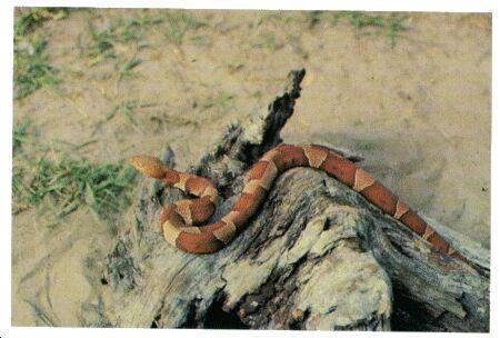 Image: American copperhead