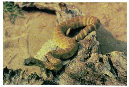 Image: Mojave rattlesnake