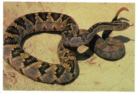 Image: Tropical rattlesnake