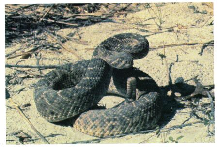 Image: Western diamondback rattlesnake