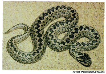 Image: Ursini's viper