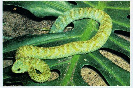 Image: Bush viper