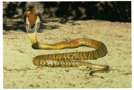 Image: Common cobra
