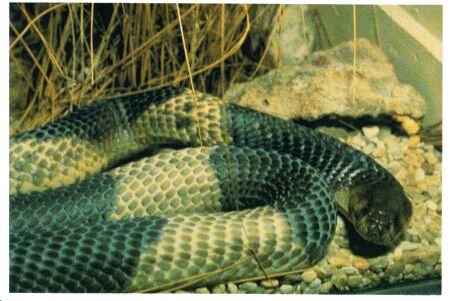 Image: Egyptian cobra