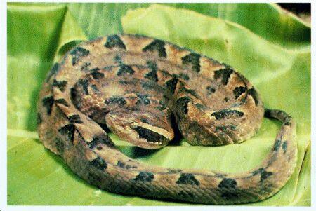 Image: Malayan pit viper
