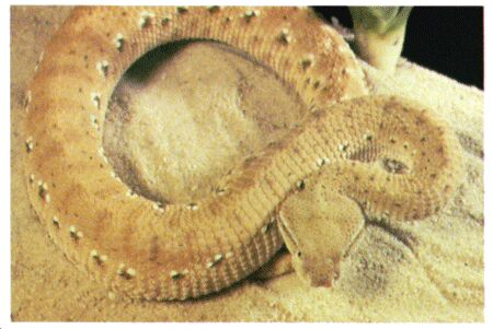 Image: McMahon's viper