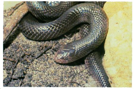 Image: Mole viper or burrowing viper