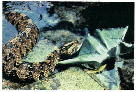 Image: Rhinoceros viper or river jack