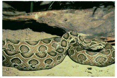 Image: Russel's viper