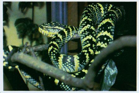 Image: Wagler's pit viper or temple viper