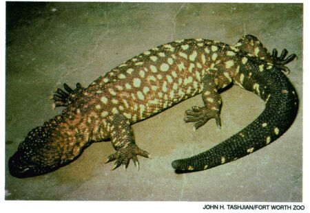 Image: Mexican beaded lizard